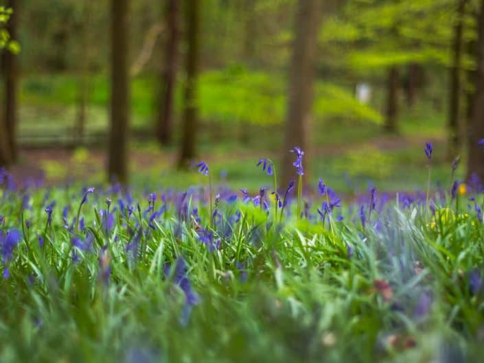 Bluebells, Portglenone Forest, Co Antrim, Northern Ireland